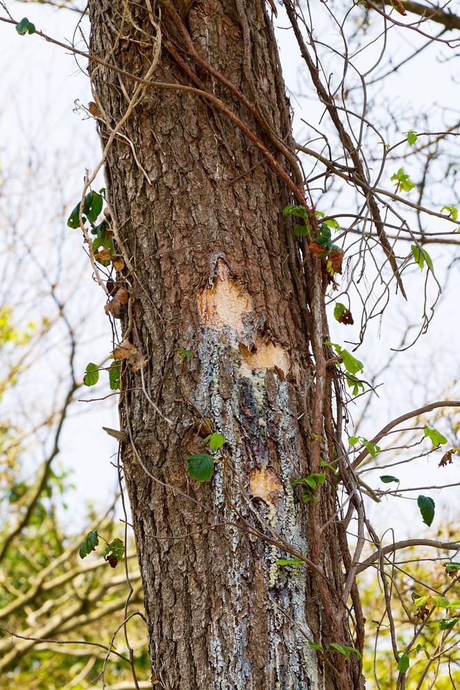 松の木に残った痕跡