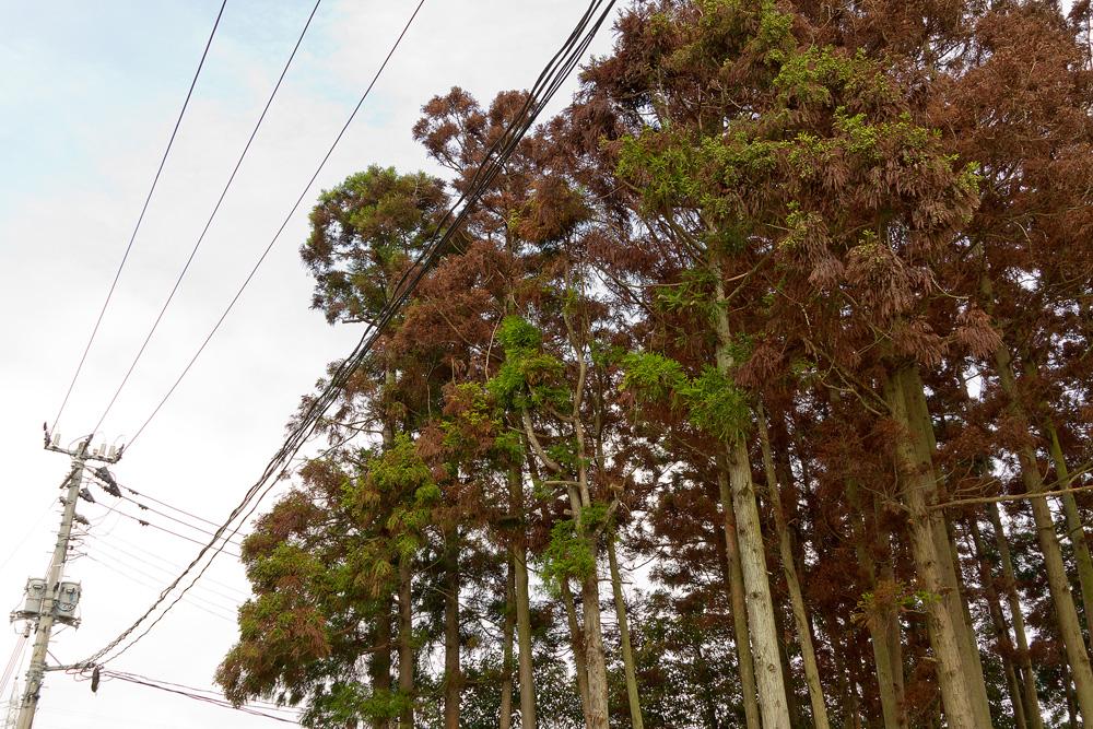 Pine leaves became brown